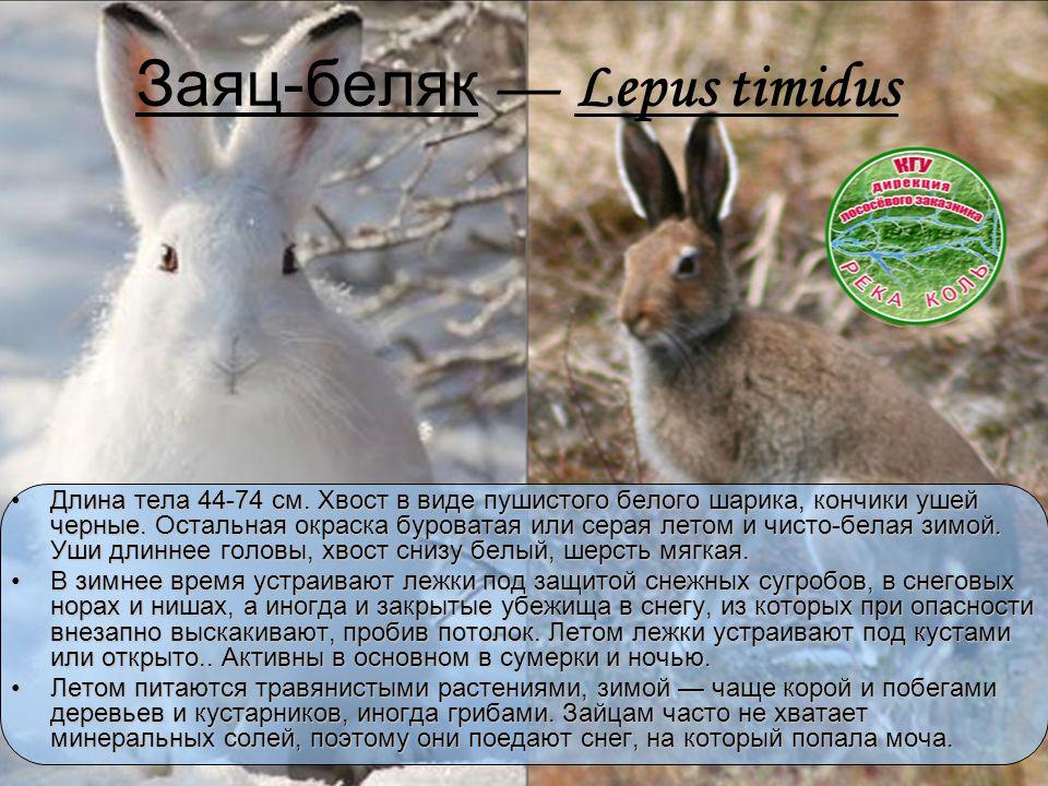 Заяц-беляк — Lepus timidus Длина тела 44-74 см. Хвост в виде пушистого белого шарика, кончики ушей черные. Остальная окраска буроватая или серая летом