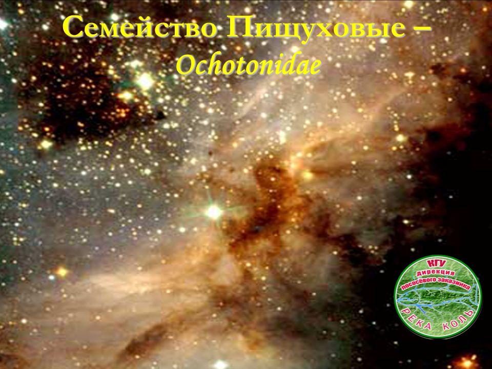 Семейство Пищуховые – Ochotonidae