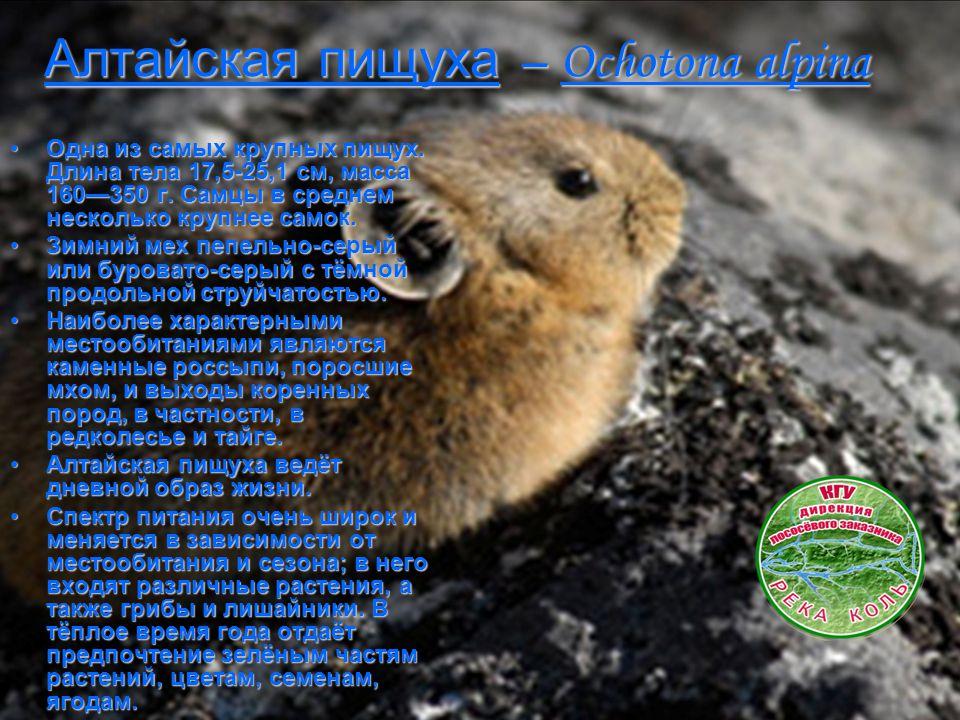 Алтайская пищуха – Ochotona alpina Одна из самых крупных пищух. Длина тела 17,5-25,1 см, масса 160—350 г. Самцы в среднем несколько крупнее самок.Одна