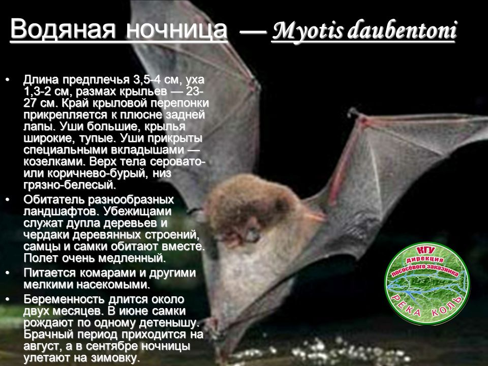 Водяная ночница — Myotis daubentoni Длина предплечья 3,5-4 см, уха 1,3-2 см, размах крыльев — 23- 27 см.