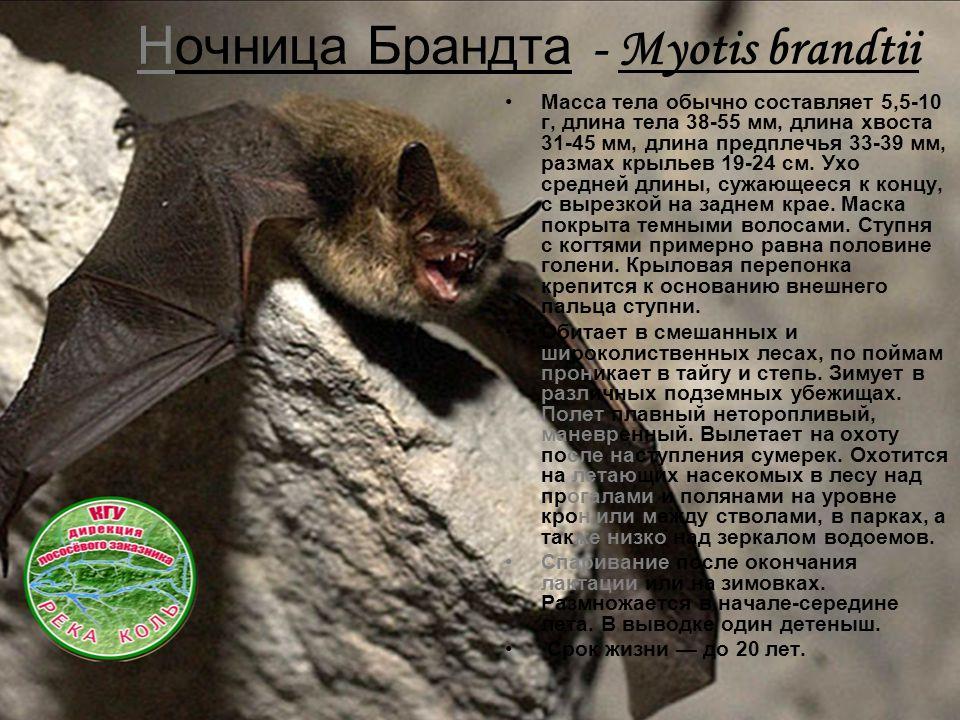 Ночница Брандта - Myotis brandtii Масса тела обычно составляет 5,5-10 г, длина тела 38-55 мм, длина хвоста 31-45 мм, длина предплечья 33-39 мм, размах