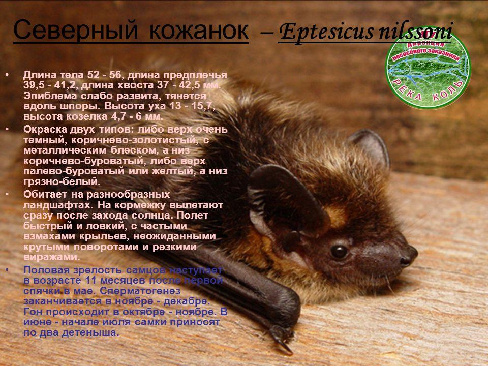 Северный кожанок – Eptesicus nilssoni Длина тела 52 - 56, длина предплечья 39,5 - 41,2, длина хвоста 37 - 42,5 мм.