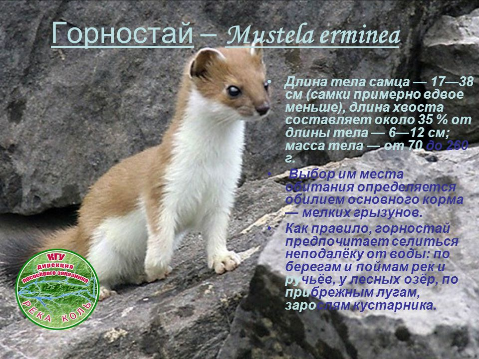 Горностай – Mustela erminea Длина тела самца — 17—38 см (самки примерно вдвое меньше), длина хвоста составляет около 35 % от длины тела — 6—12 см; мас
