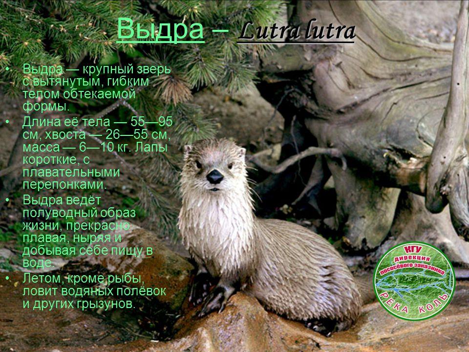 Lutra lutra Выдра – Lutra lutra Выдра — крупный зверь с вытянутым, гибким телом обтекаемой формы. Длина её тела — 55—95 см, хвоста — 26—55 см, масса —