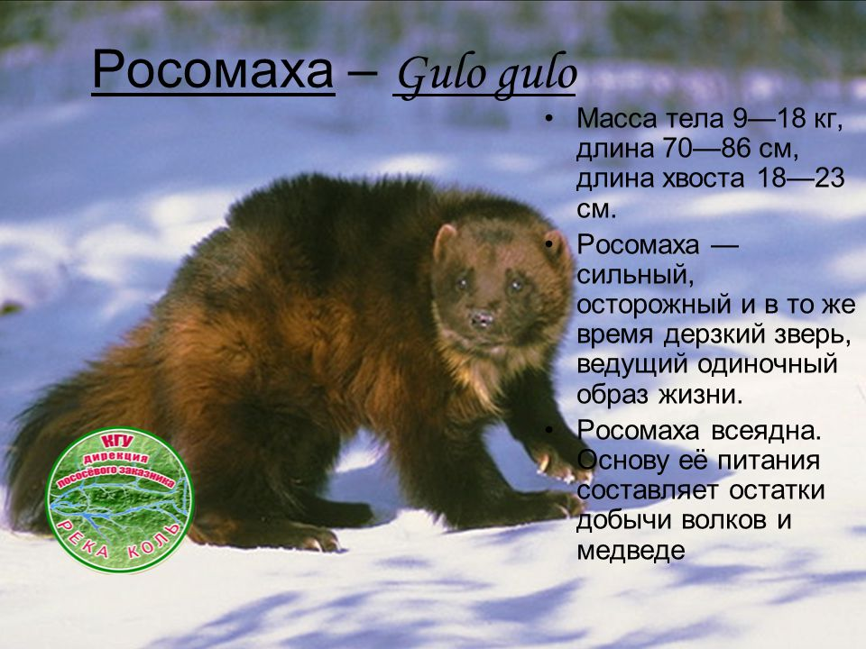 Росомаха – Gulo gulo Масса тела 9—18 кг, длина 70—86 см, длина хвоста 18—23 см. Росомаха — сильный, осторожный и в то же время дерзкий зверь, ведущий