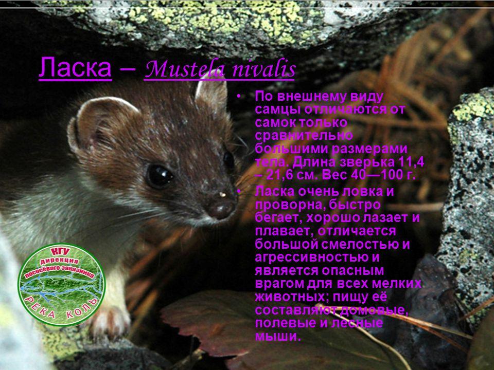 Ласка – Mustela nivalis По внешнему виду самцы отличаются от самок только сравнительно большими размерами тела. Длина зверька 11,4 – 21,6 см. Вес 40—1