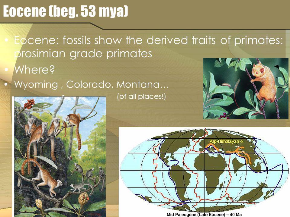 Eocene (beg. 53 mya) Eocene: fossils show the derived traits of primates: prosimian grade primates Where? Wyoming, Colorado, Montana… (of all places!)