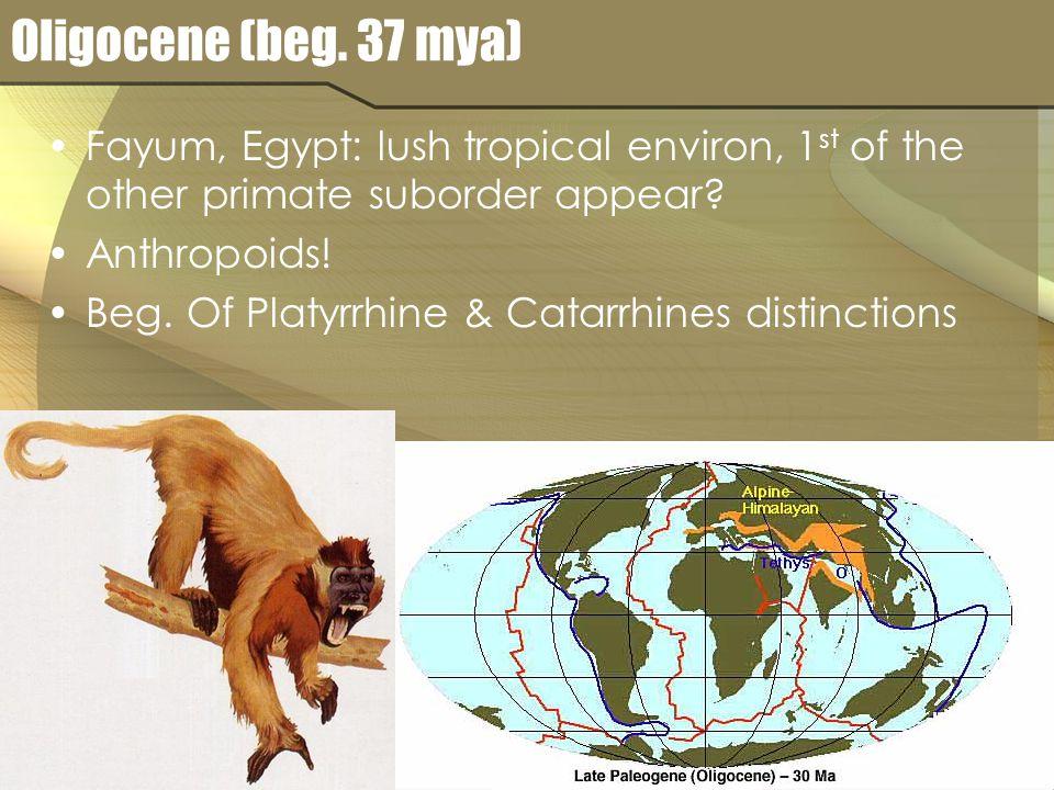 Oligocene (beg. 37 mya) Fayum, Egypt: lush tropical environ, 1 st of the other primate suborder appear? Anthropoids! Beg. Of Platyrrhine & Catarrhines