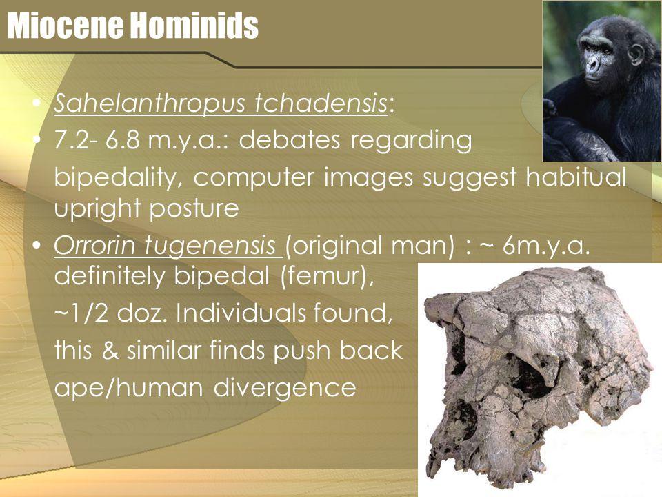 Miocene Hominids Sahelanthropus tchadensis: 7.2- 6.8 m.y.a.: debates regarding bipedality, computer images suggest habitual upright posture Orrorin tu