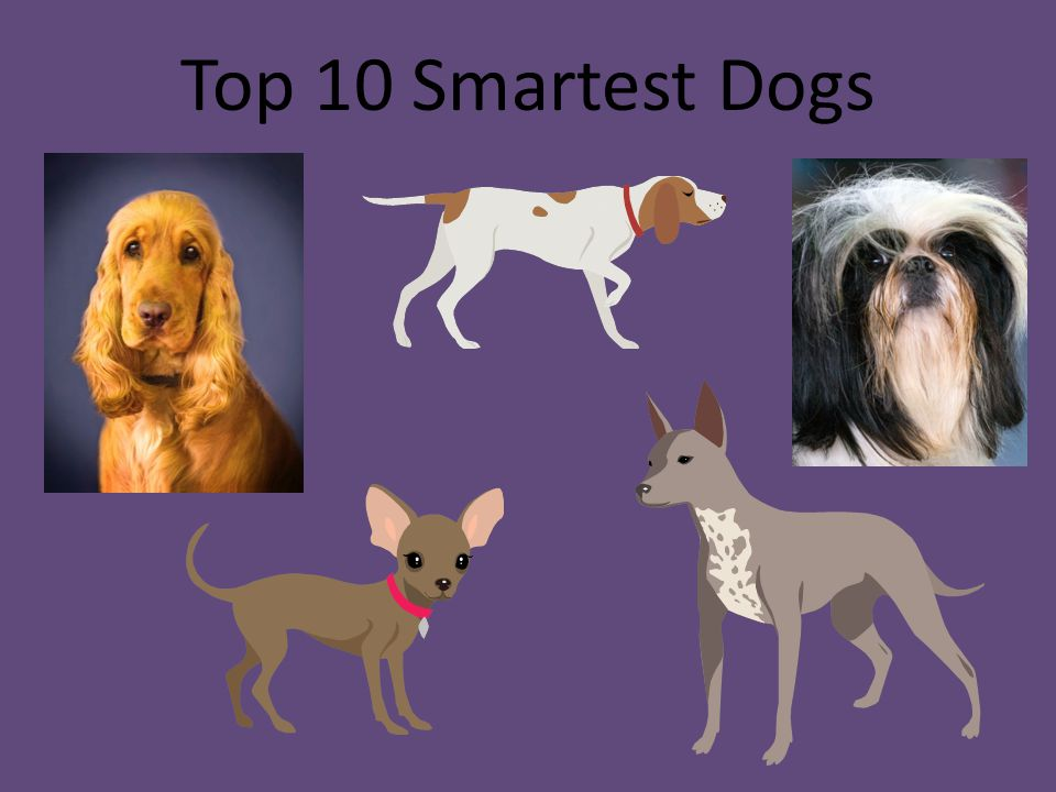 Top 10 Smartest Dogs