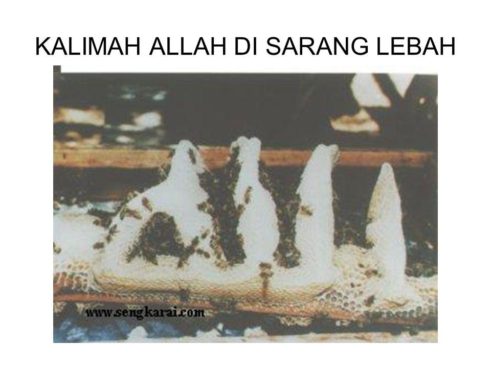 KALIMAH ALLAH DI SARANG LEBAH