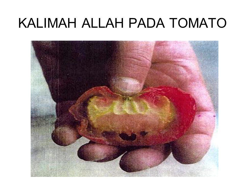 KALIMAH ALLAH PADA TOMATO