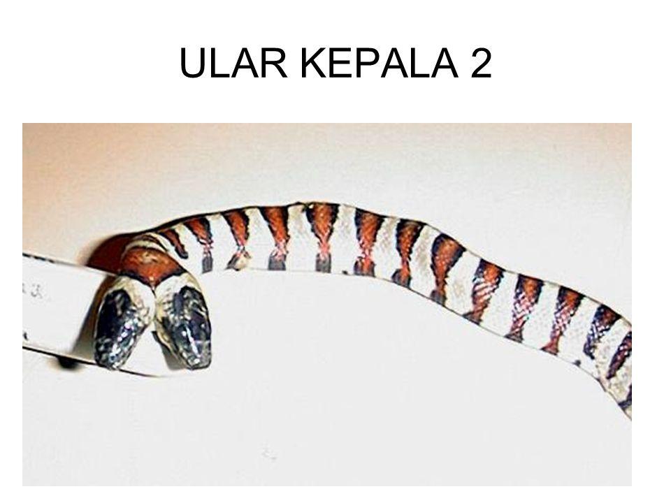 ULAR KEPALA 2