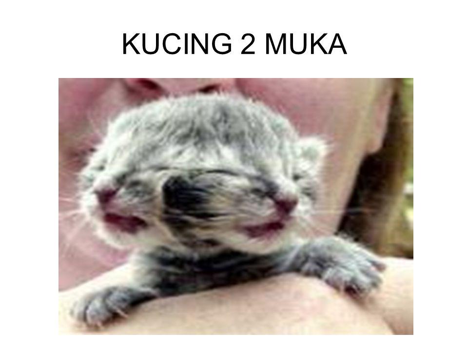 KUCING 2 MUKA