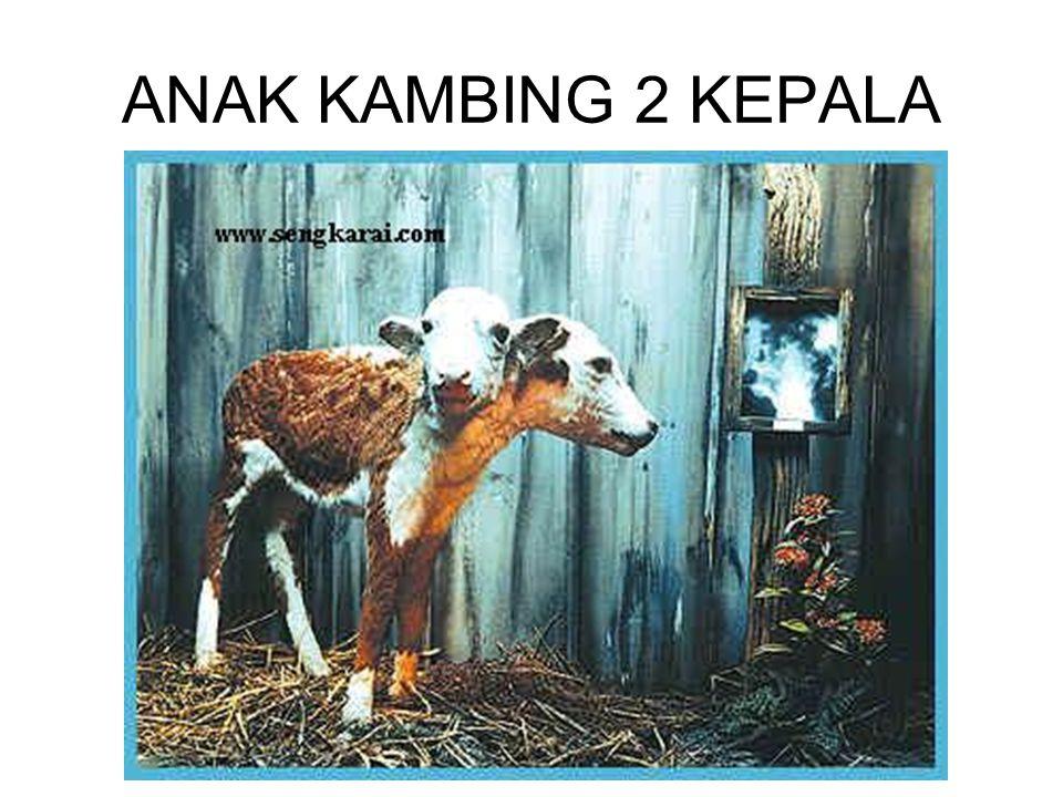 ANAK KAMBING 2 KEPALA