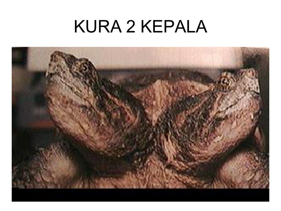 KURA 2 KEPALA