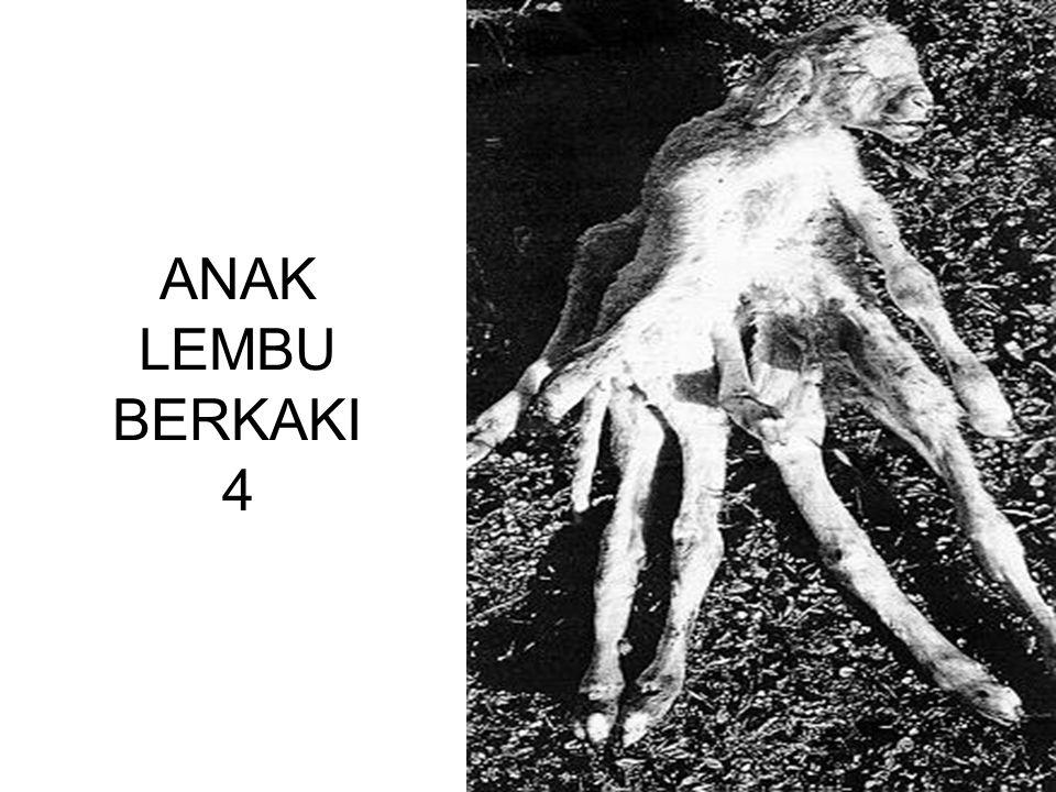 ANAK LEMBU BERKAKI 4