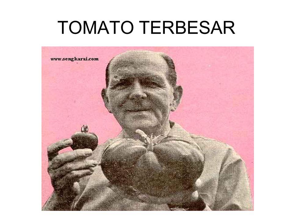 TOMATO TERBESAR