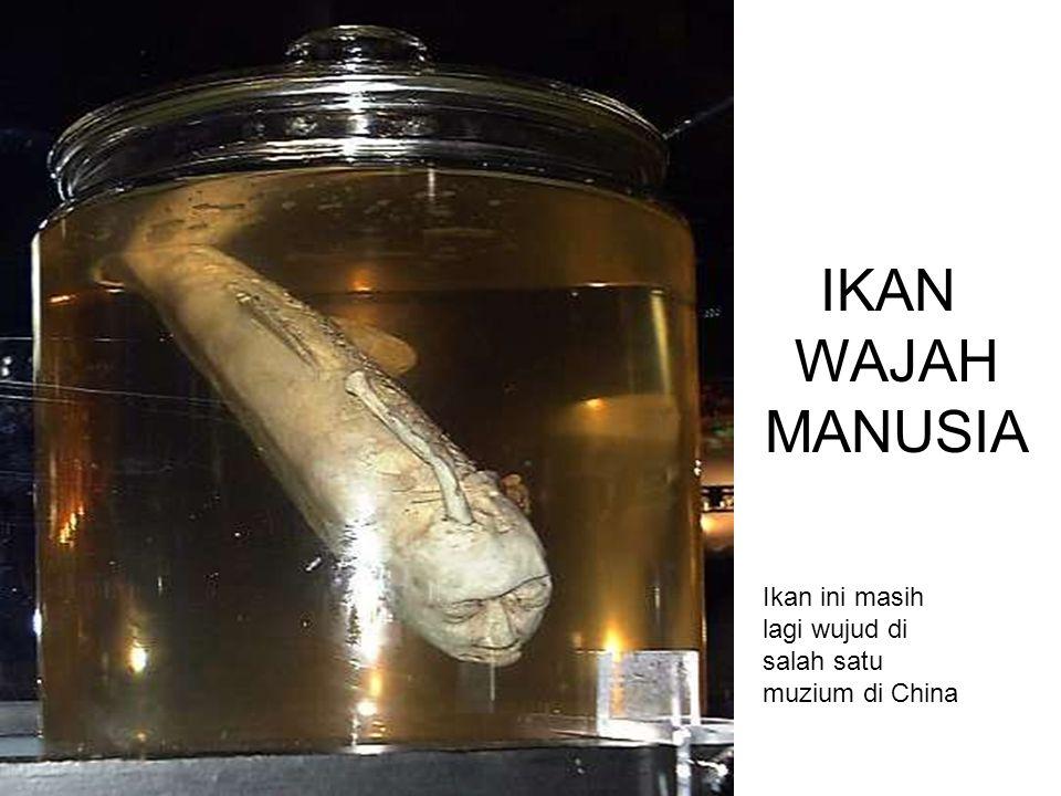 IKAN WAJAH MANUSIA Ikan ini masih lagi wujud di salah satu muzium di China