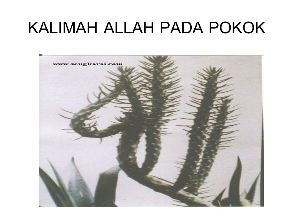 KALIMAH ALLAH PADA POKOK