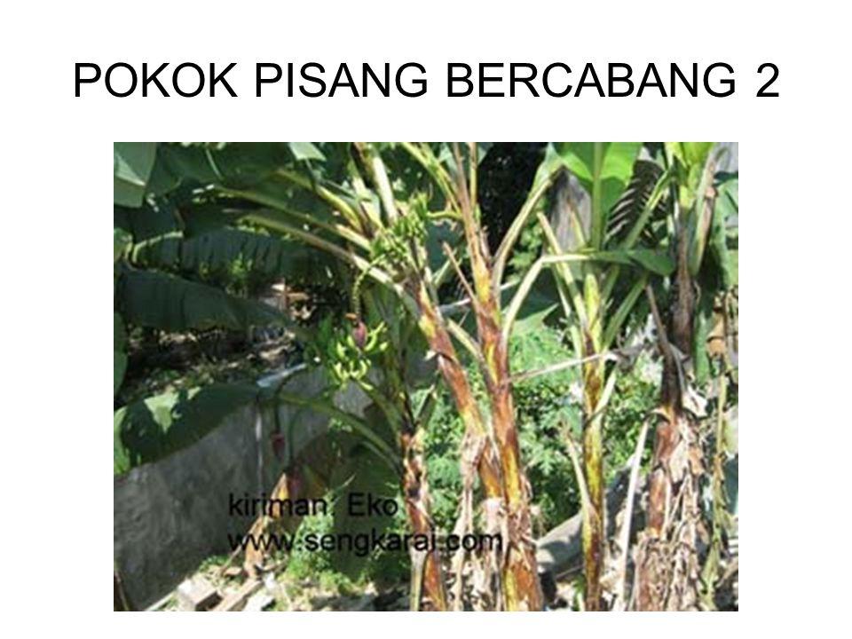 POKOK PISANG BERCABANG 2
