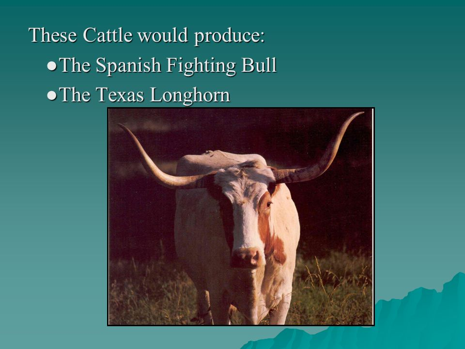These Cattle would produce: ●The Spanish Fighting Bull ●The Texas Longhorn
