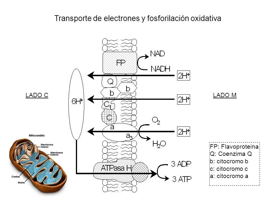 LADO CLADO M FP: Flavoproteina Q: Coenzima Q b: citocromo b c: citocromo c a: citocromo a Transporte de electrones y fosforilación oxidativa