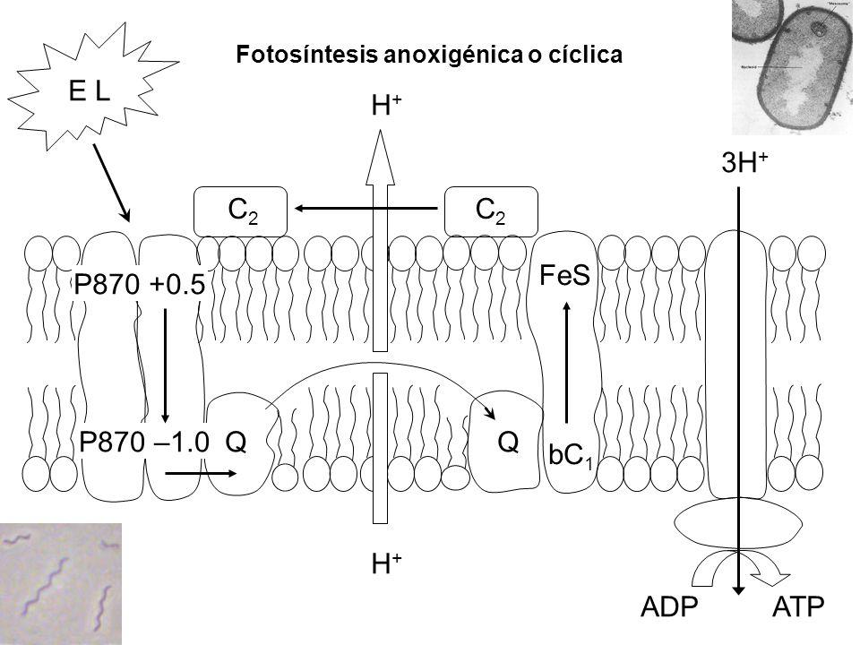Fotosíntesis anoxigénica o cíclica P870 +0.5 P870 –1.0QQ H+H+ bC 1 FeS C2C2 C2C2 3H + H+H+ E L ADPATP