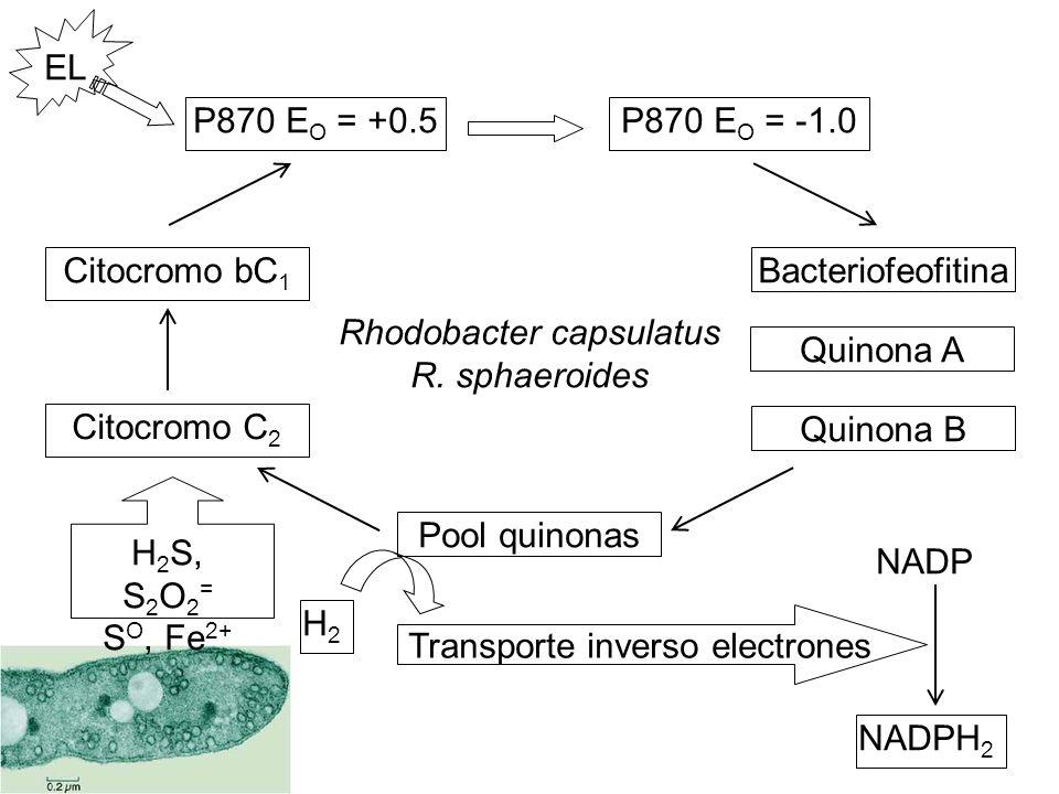 P870 E O = +0.5 NADPH 2 H2H2 Bacteriofeofitina Quinona A Quinona B P870 E O = -1.0 Pool quinonas Citocromo bC 1 Citocromo C 2 EL Transporte inverso el