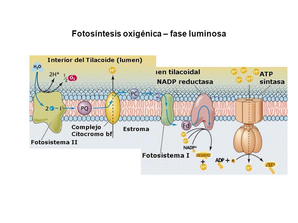 Fotosíntesis oxigénica – fase luminosa