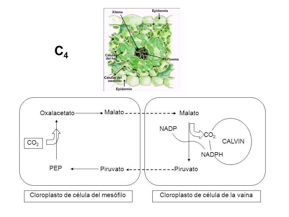 Malato Cloroplasto de célula del mesófilo CALVIN Oxalacetato PEP CO 2 Malato Piruvato CO 2 NADP NADPH Cloroplasto de célula de la vaina C4C4