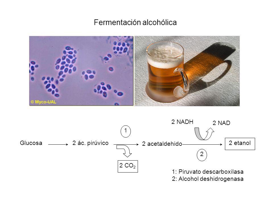 Fermentación alcohólica Glucosa2 ác. pirúvico 2 etanol 2 NAD 2 NADH 2 CO 2 2 acetaldehido 1 2 1: Piruvato descarboxilasa 2: Alcohol deshidrogenasa