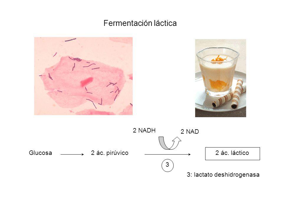 Fermentación láctica Glucosa2 ác. pirúvico 2 ác. láctico 2 NAD 2 NADH 3 3: lactato deshidrogenasa