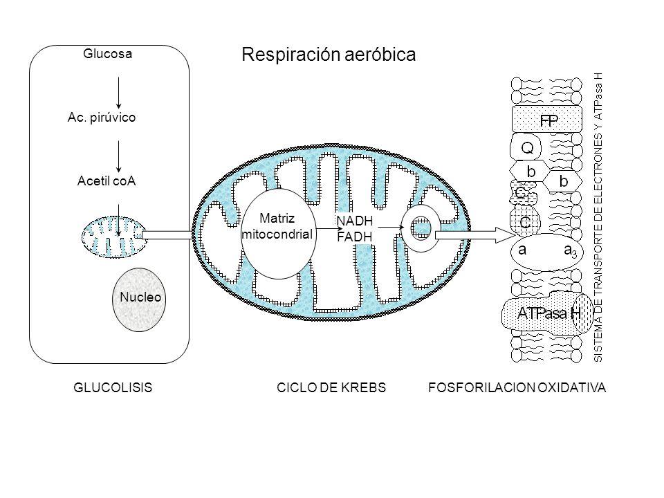 Glucosa Ac. pirúvico Acetil coA Nucleo Matriz mitocondrial NADH FADH GLUCOLISISCICLO DE KREBSFOSFORILACION OXIDATIVA Respiración aeróbica