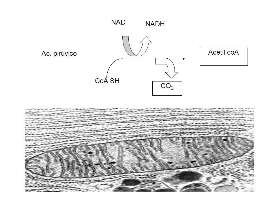 CoA SH Ac. pirúvico Acetil coA NAD NADH CO 2