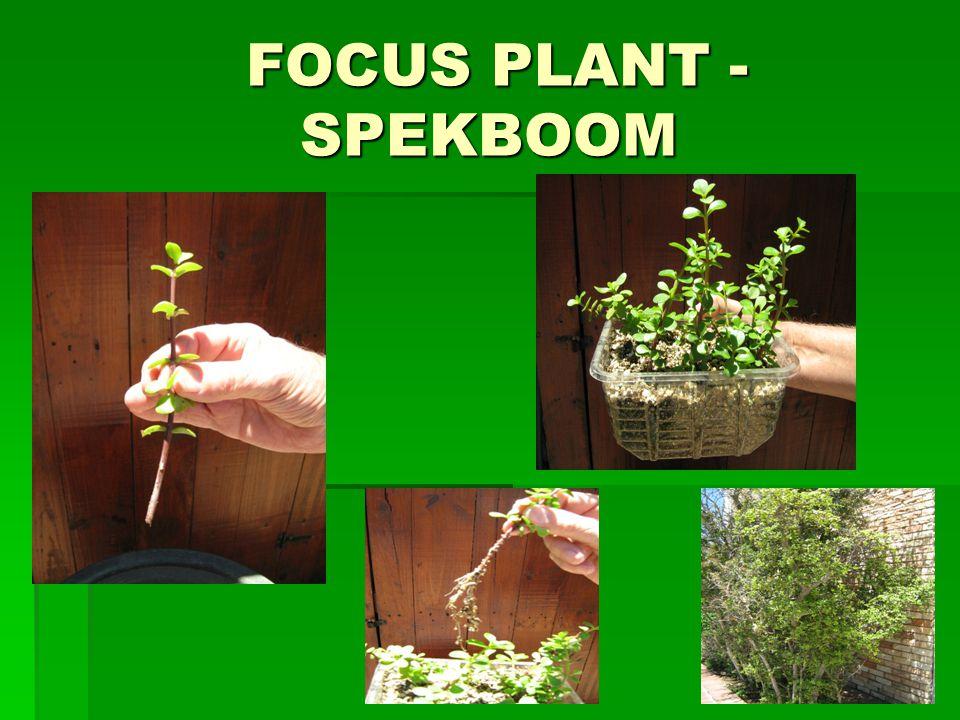 FOCUS PLANT - SPEKBOOM FOCUS PLANT - SPEKBOOM