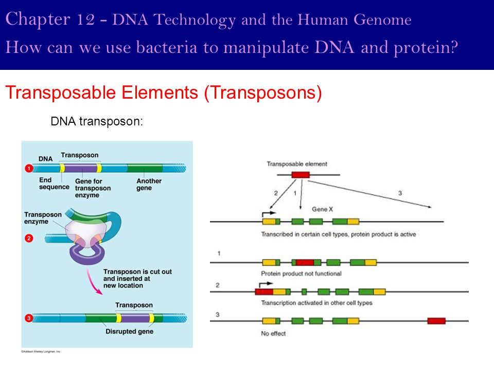 Chapter 12 - DNA Technology and the Human Genome How can we use bacteria to manipulate DNA and protein? Transposable Elements (Transposons) DNA transp