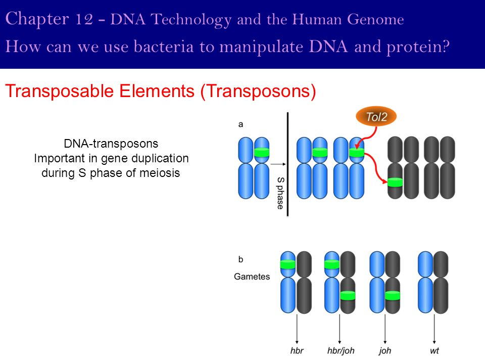 Chapter 12 - DNA Technology and the Human Genome How can we use bacteria to manipulate DNA and protein? Transposable Elements (Transposons) DNA-transp