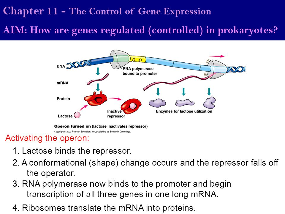 Chapter 11 - The Control of Gene Expression AIM: How are genes regulated (controlled) in prokaryotes? 1. Lactose binds the repressor. 2. A conformatio