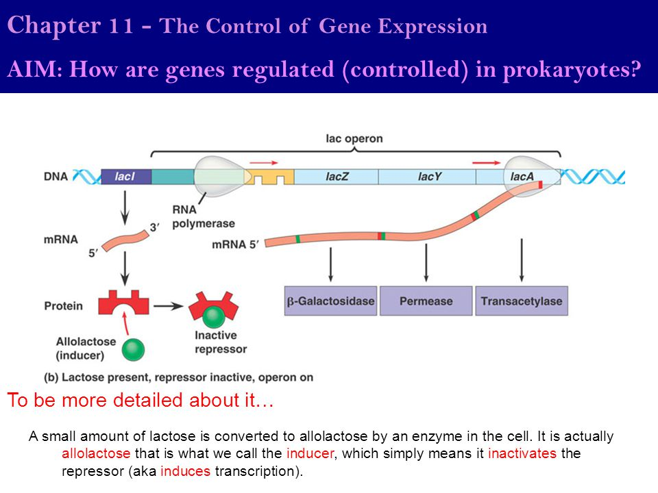 Chapter 11 - The Control of Gene Expression AIM: How are genes regulated (controlled) in prokaryotes? To be more detailed about it… A small amount of