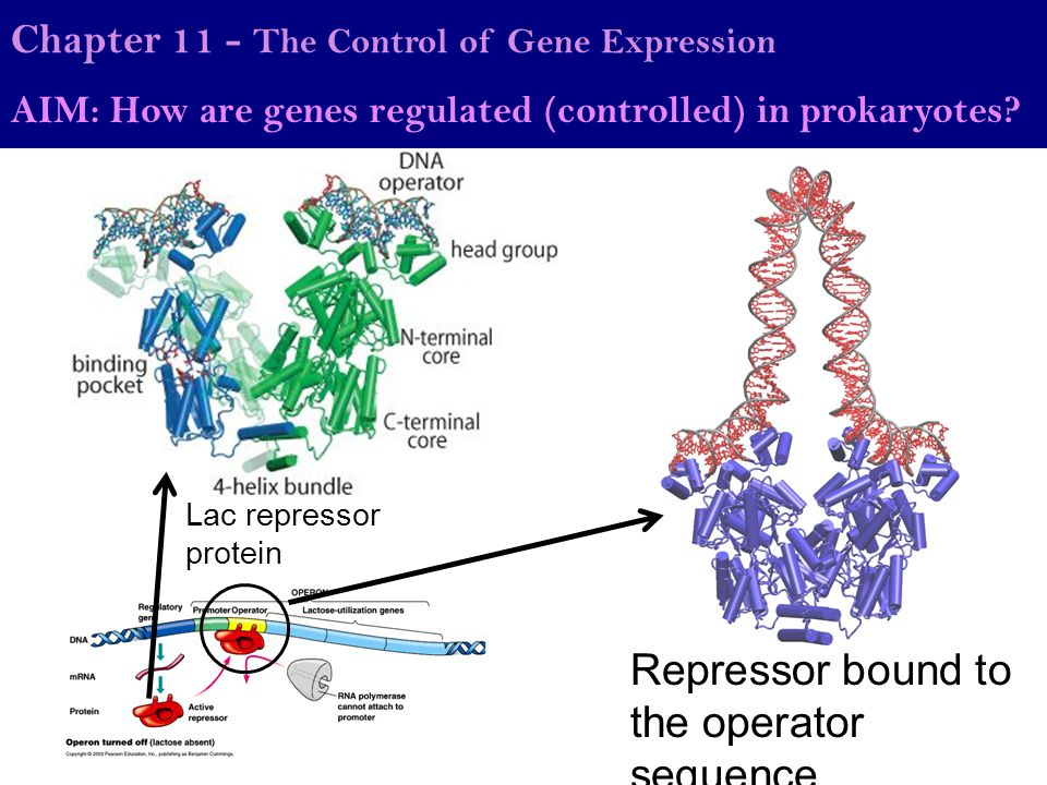 Chapter 11 - The Control of Gene Expression AIM: How are genes regulated (controlled) in prokaryotes? Lac repressor protein Repressor bound to the ope