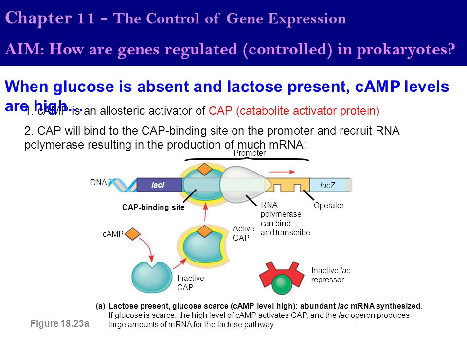 1. cAMP is an allosteric activator of CAP (catabolite activator protein) Chapter 11 - The Control of Gene Expression AIM: How are genes regulated (con