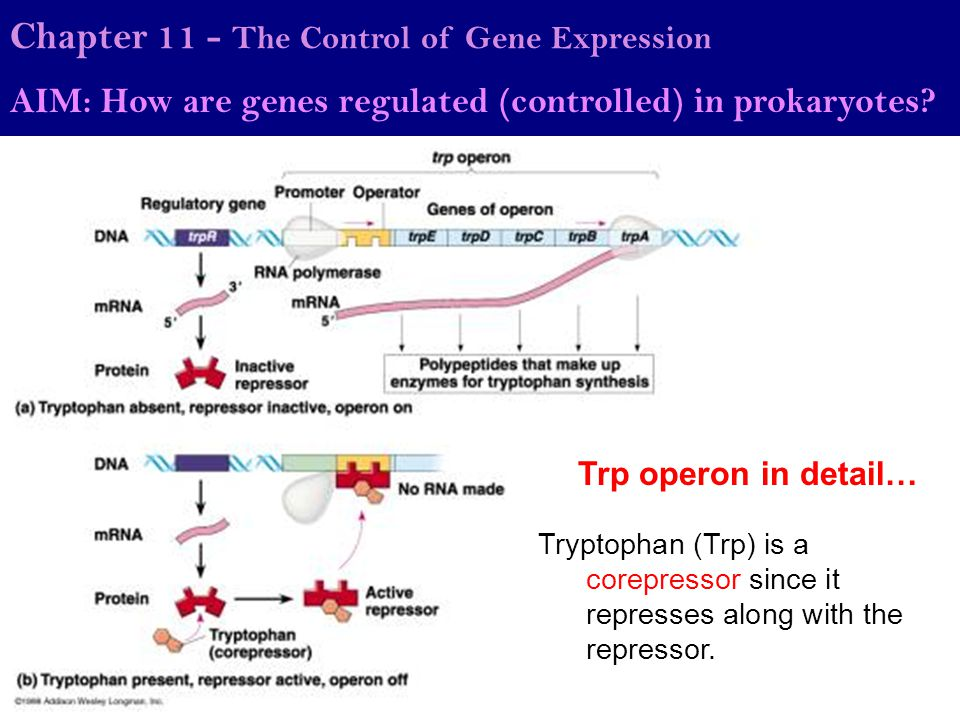 Trp operon in detail… Chapter 11 - The Control of Gene Expression AIM: How are genes regulated (controlled) in prokaryotes? Tryptophan (Trp) is a core
