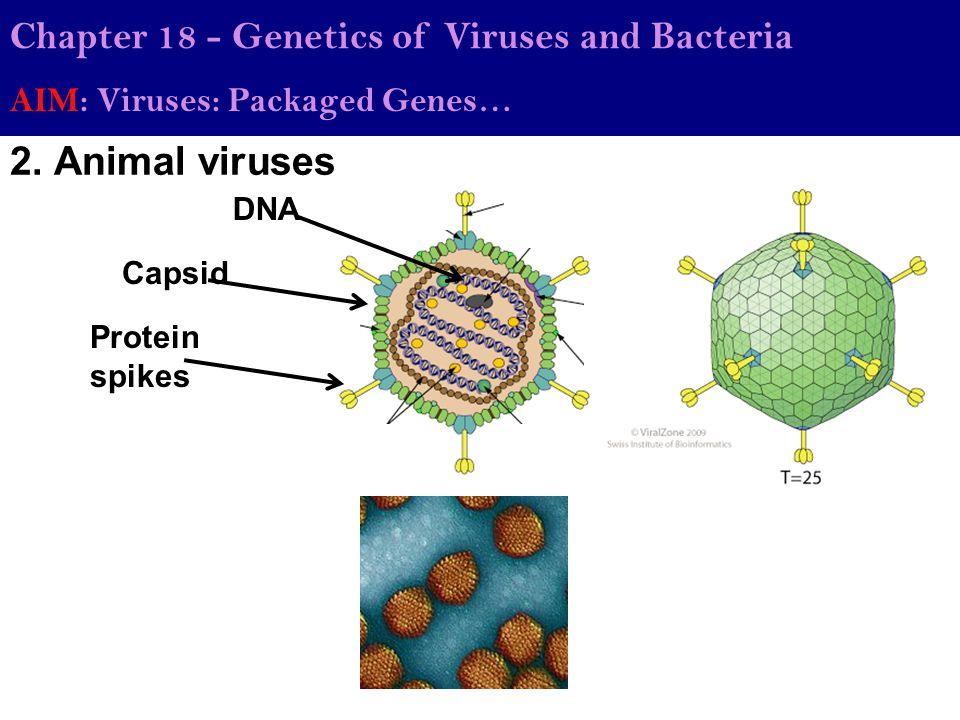 Chapter 18 - Genetics of Viruses and Bacteria AIM: Viruses: Packaged Genes… 2. Animal viruses Capsid DNA Protein spikes