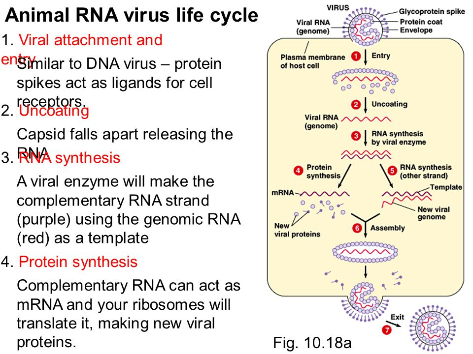 Animal RNA virus life cycle 1. Viral attachment and entry Similar to DNA virus – protein spikes act as ligands for cell receptors. 2. Uncoating Capsid