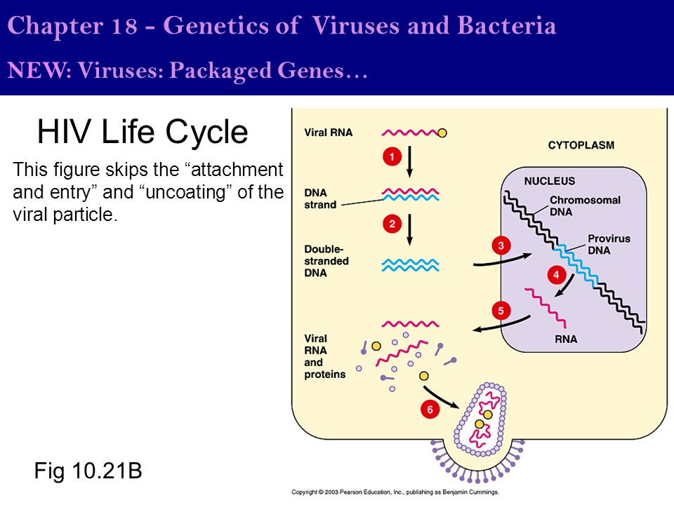"""Fig 10.21B HIV Life Cycle Chapter 18 - Genetics of Viruses and Bacteria NEW: Viruses: Packaged Genes… This figure skips the """"attachment and entry"""" and"""
