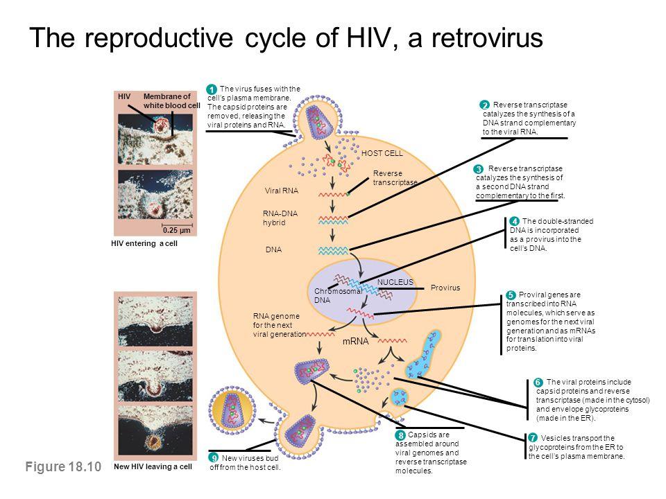 The reproductive cycle of HIV, a retrovirus Figure 18.10 mRNA RNA genome for the next viral generation Viral RNA RNA-DNA hybrid DNA Chromosomal DNA NU