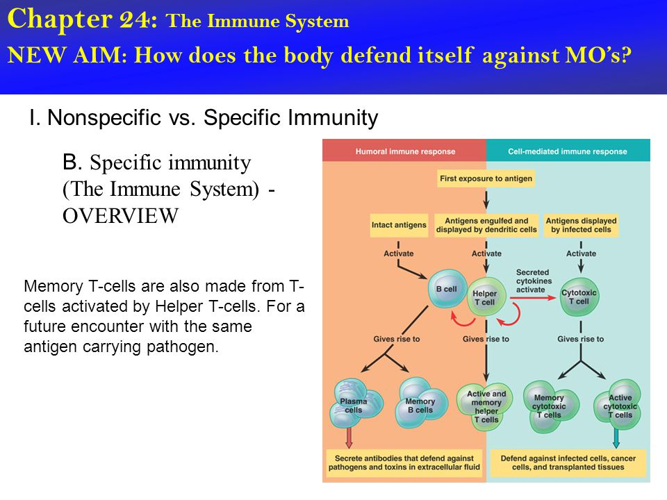 Chapter 24: The Immune System NEW AIM: How does the body defend itself against MO's? I. Nonspecific vs. Specific Immunity B. Specific immunity (The Im