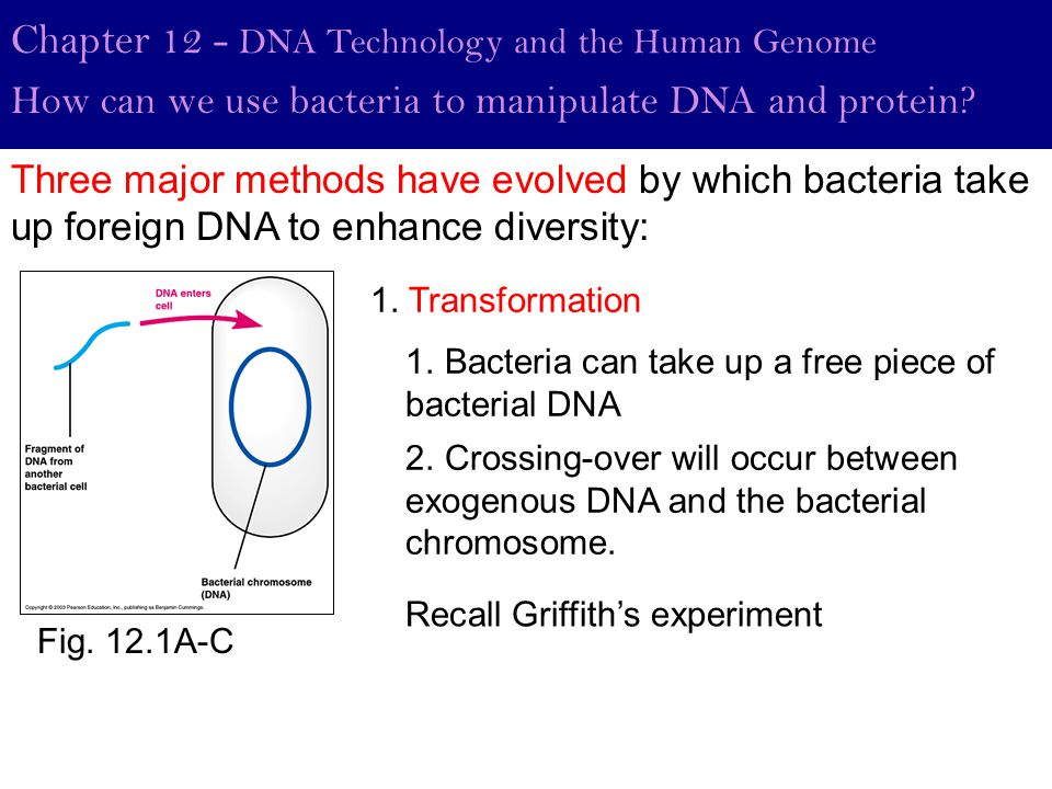 Fig. 12.1A-C Chapter 12 - DNA Technology and the Human Genome How can we use bacteria to manipulate DNA and protein? 1. Transformation 1. Bacteria can