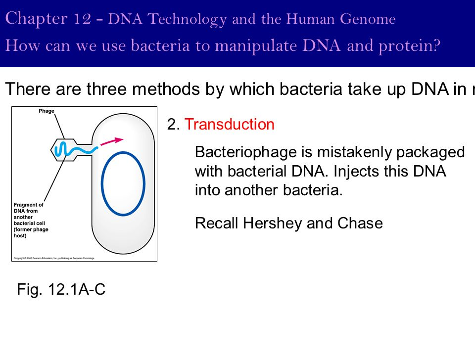 Fig. 12.1A-C Chapter 12 - DNA Technology and the Human Genome How can we use bacteria to manipulate DNA and protein? 2. Transduction Bacteriophage is
